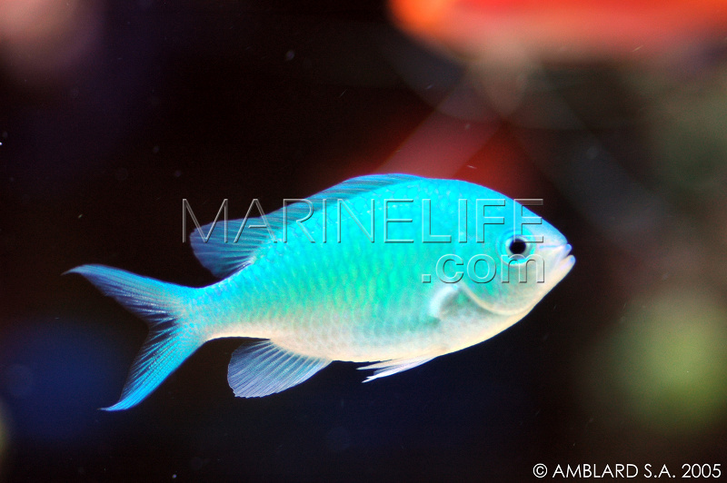 Poissons clown for Poisson vente en ligne