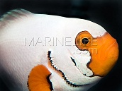 Amphiprion ocellaris Platinum Snow Onyx 4-5 cm