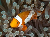 Amphiprion ocellaris S