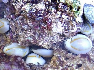Cypraea annulus ou moneta -lot de 5