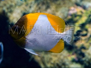 Hemithaurichthys polylepis -Papillon 100% reef safe!